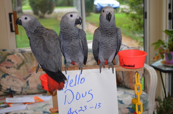 group african greys