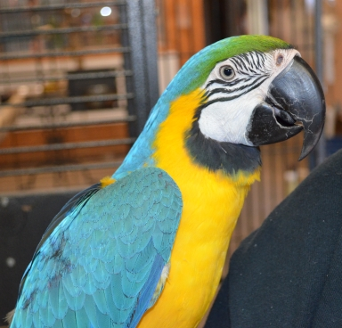 handfed baby blue gold macaws, blue gold macaw