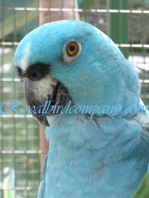blue yellow naped amazon parrot