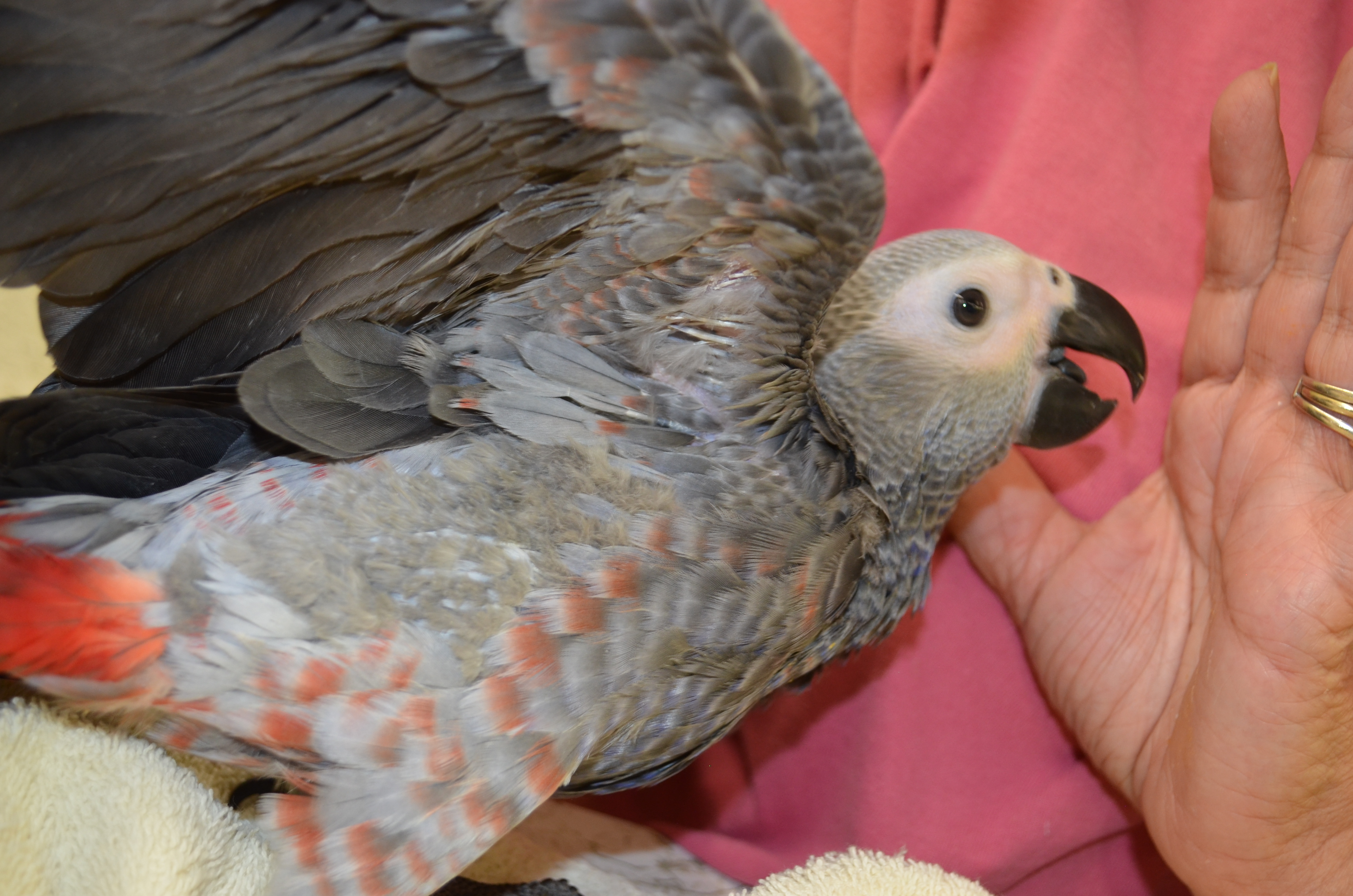 Handfed Baby African Grey Parrot-Congo African Greys for sale
