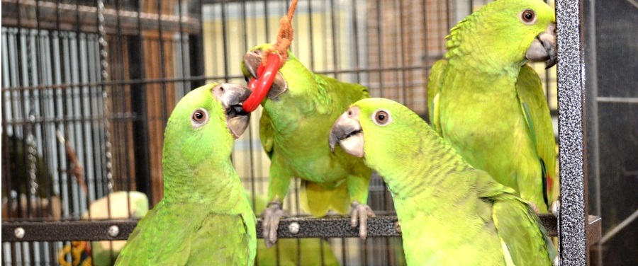 baby yellow naped amazons for sale