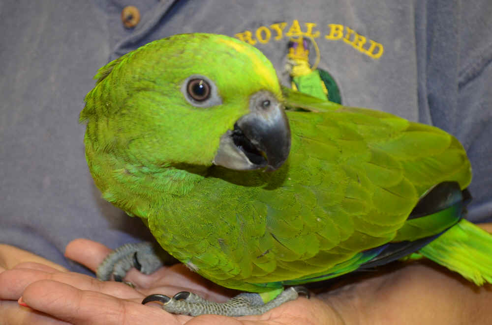 available yellow naped amazons for sale
