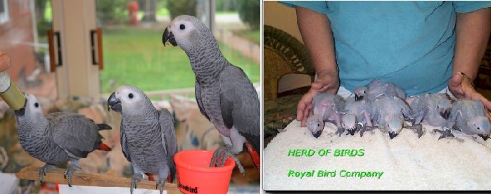 Handfed Baby African Grey Parrot, Congo African Greys baby