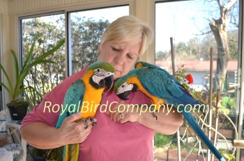 blue gold macaw baby