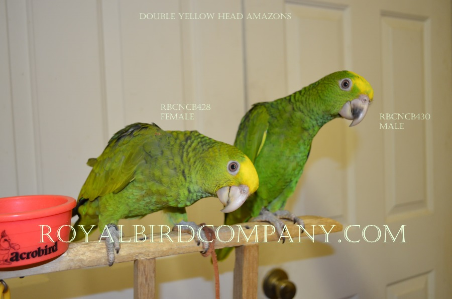 baby handfed yellow head amazons