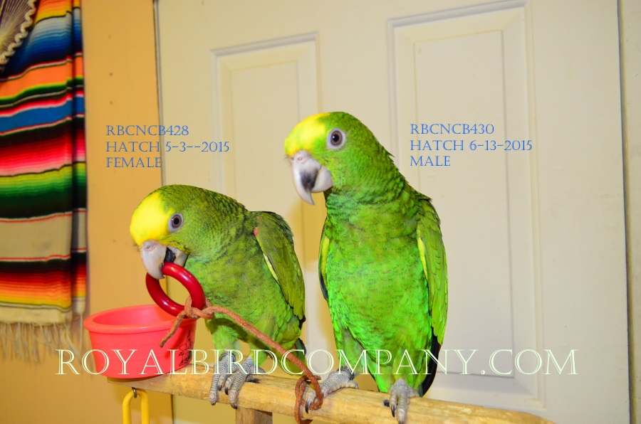 double yellow head amazon for sale