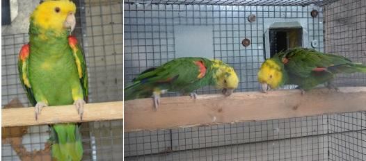 Breeder Bird Breeders, breeder pairs for Sale, amazons
