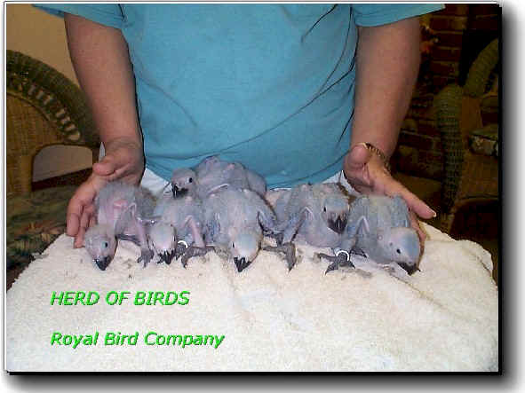 african grey,baby greys,congo grey,for sale,nc