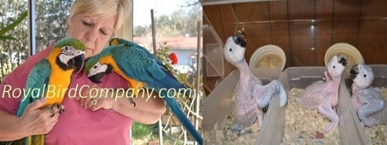 baby blue gold macaws