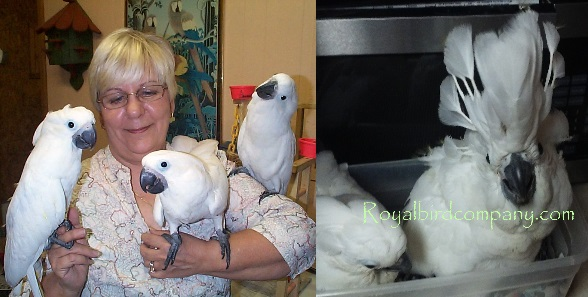 umbrella cockatoos for sale, baby cockatoos, handfed baby cockatoo