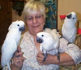 umbrella cockatoo baby