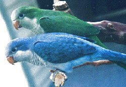 Blue quaker parrots available now