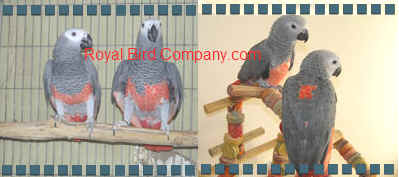 royal bird company red greys