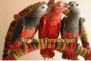 Red African grey Royal Bird