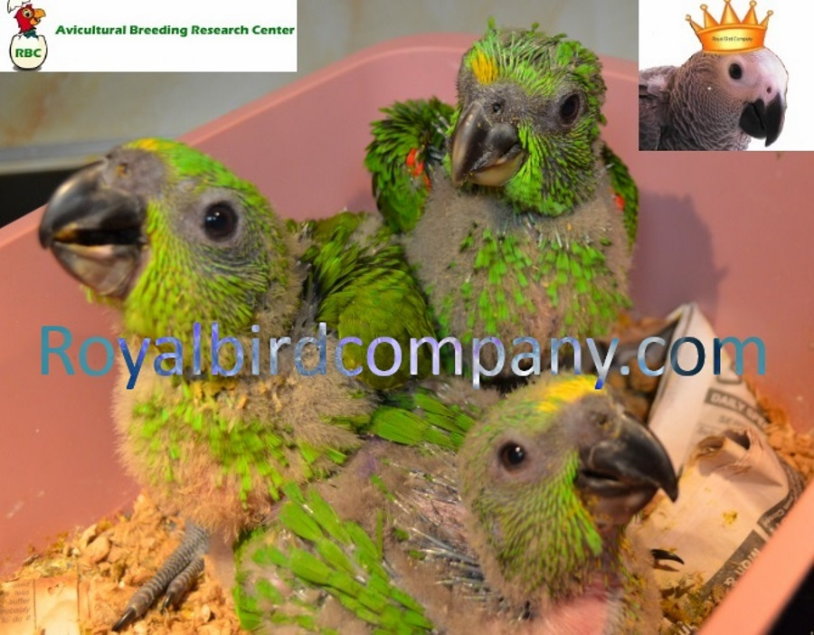 BABY YELLOW NAPED AMAZONS HANFED