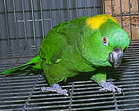 yellow nape amazons,baby parrot,yellow naped amazon,talking parrots